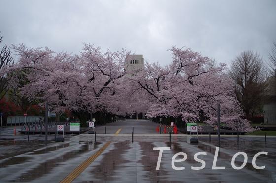 東工大本館前の桜引きの絵