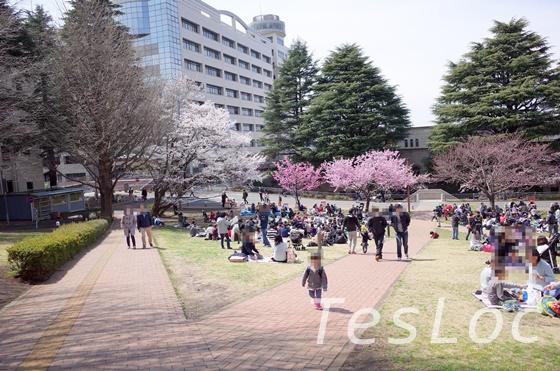 東工大ウッドデッキ横芝生桜の時期の様子2