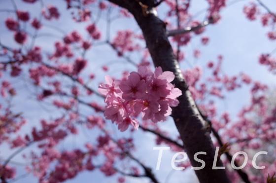 東工大早咲きの桜か梅
