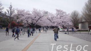 東工大ウッドデッキの満開の桜