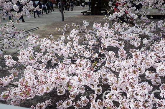 東工大大岡山の地面すれすれの桜