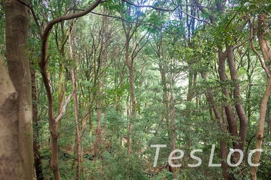 東高根森林公園のシラカシ林