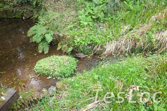 東高根森林公園の湿生植物園にいた鴨